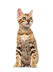 Fototapete - Bengal kitten sits and looks on a white background