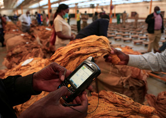Buyers examine bales at the start of the tobacco selling season, after the coronavirus disease (COVID-19) outbreak delayed the opening of auctions, in Harare