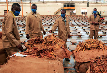Workers stand over bales at the start of the tobacco selling season, after the coronavirus disease(COVID-19) outbreak delayed the opening of auctions by more than a month, in Harare