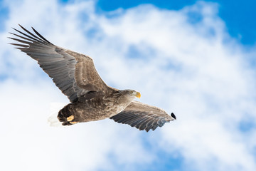 White tailed eagle in winter atmosphere Fototapete