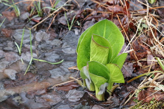 Vibrant green skunk cabbage leaves emerging from muddy puddle around the start of the spring season