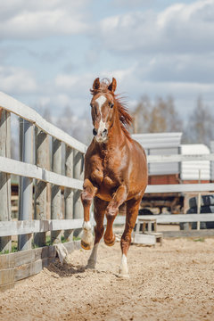 portrait of chestnut trakehner stallion horse galloping in big paddock in spring