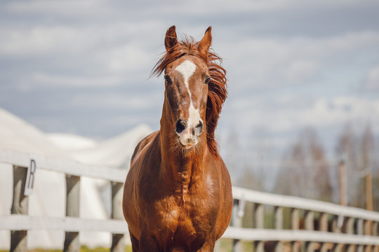closeup portrait of chestnut trakehner stallion horse galloping in big paddock in spring