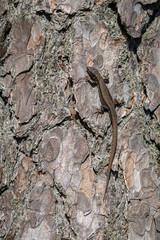 Viviparous lizard - Zootoca vivipara - male reptile sits on the bark of a pine tree - Pinus sylvestris