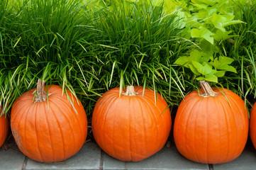 Pumpkins line the grassy path at the Dallas Arboretum in Dallas Texas.
