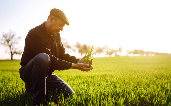 Young wheat sprout in the hands of a farmer. The farmer considers young wheat  in the field. The concept of the agricultural business.