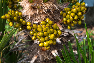 Dates on palm tree