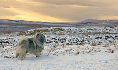 Wall Murals Dog Keeshond Looking Away On Snowcapped Field At Sunset