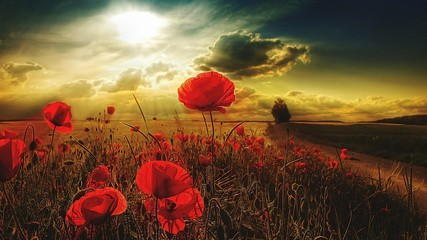 Obraz Red Poppy Flowers Blooming On Field During Sunset - fototapety do salonu