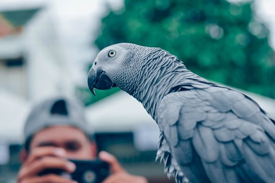 Man Photographing African Grey Parrot From Mobile Phone