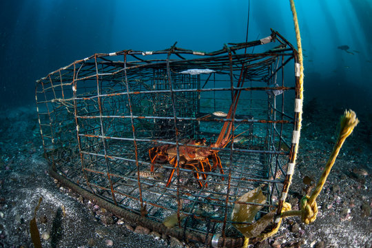 A California Spiny lobster, Panulirus interruptus, is caught in a lobster trap off the coast of southern California. Most lobsters caught in California are shipped to China where demand is high.