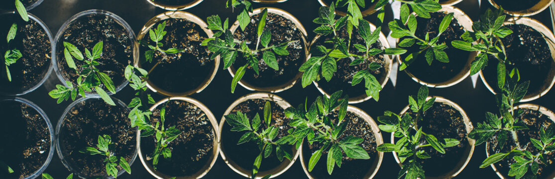 home seedling tomato garden young tomato plants growing out of soil