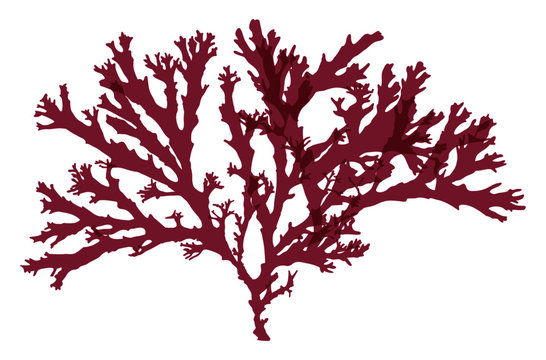 This is a red algae in the sea.