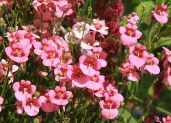 Diascia rose