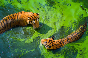 High Angle View Of Tigers In Swamp At Forest