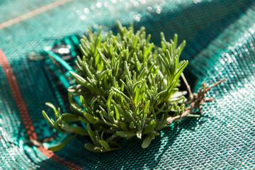 Młody krzew lawendy wąskolistnej. Tę roślinę charakteryzuje piękny zapach oraz ozdobny wygląd podczas kwitnięcia.