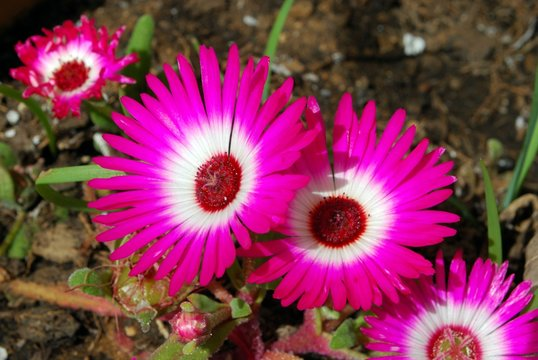 Pink Livingstone Daisy in full bloom, Andalusia, Spain.