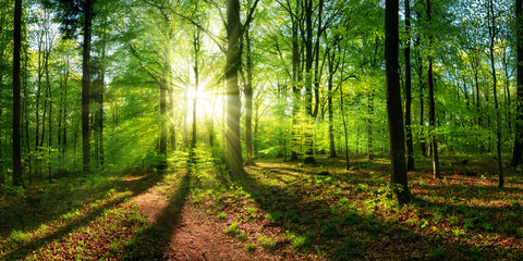 Panoramic landscape: beautiful rays of sunlight shining through the vibrant lush green foliage and...