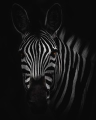 Poster de jardin Zebra zebra head big hd - BW