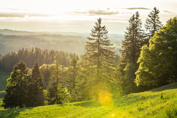 forêt de sapin au coucher de soleil