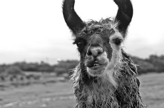 Black And White Image Of A Llama