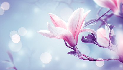 Wall Mural - Blooming pink magnolia flower on fantasy mysterious blue background with shining glowing bokeh, fabulous spring fairy tale floral garden, amazing magnificent nature