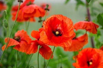 Obraz poppy outdoors in the garden - fototapety do salonu