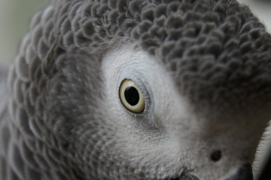 Close-up Of African Grey Parrot Outdoors