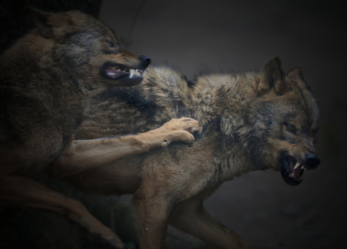 Angry Wolves On Field
