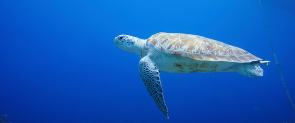 Photo sur Plexiglas Tortue Beautiful Sea Turtle Swimming In The Caribbean Sea. Blue Water. Relaxed, Curacao, Aruba, Bonaire, Animal, Scuba Diving, Ocean, Under The Sea, Underwater Photography, Snorkeling, Tropical Paradise.