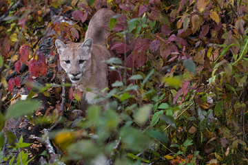 Fototapete - Cougar (Puma concolor) Stands in Autumn Leaves