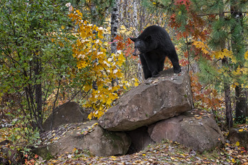 Wall Mural - Black Bear (Ursus americanus) Looks Out From Atop Rock Den Autumn