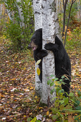 Wall Mural - Black Bear (Ursus americanus) Clings to Birch Tree Autumn
