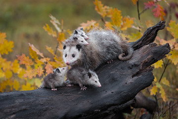 Fototapete - Virginia Opossum Joey (Didelphis virginiana) Looks Up at Mother Loaded With Siblings Autumn
