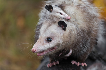 Fototapete - Virginia Opossum (Didelphis virginiana) Mother With Joey on Her Back Close Up Autumn