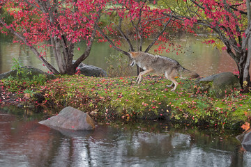 Wall Mural - Coyote (Canis latrans) Bounces Left on Island in Rain Autumn