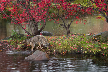 Fototapete - Coyote (Canis latrans) One Foot in Water Sniffs Along Bank of Island Autumn