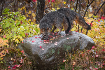 Wall Mural - Grey Foxes (Urocyon cinereoargenteus) Sniff About Atop Rock Autumn