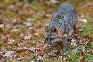 Wall Mural - Grey Fox (Urocyon cinereoargenteus) Trots Forward and Left Autumn