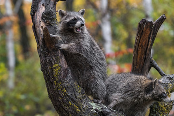 Fototapete - Raccoon (Procyon lotor) in Tree Vocalizes with Another Nearby Autumn