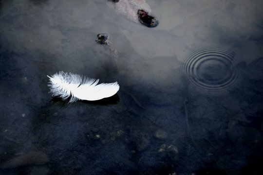 High Angle View Of White Feather Floating On Water