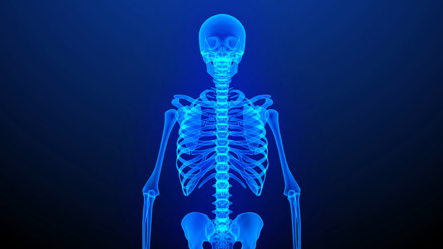 Human Body Skeleton.