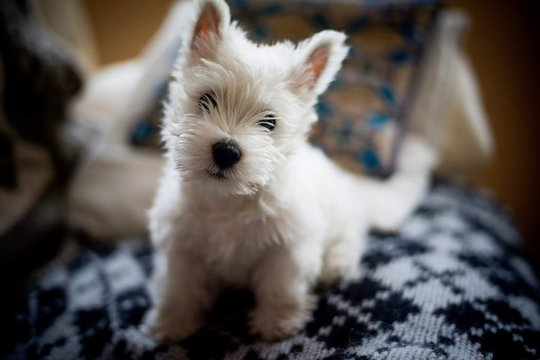 Close-up Portrait Of West Highland White Terrier On Seat At Home