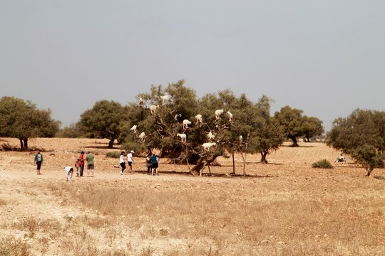 Goats Climbing On Argan Tree At Field Against Clear Sky