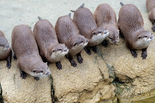 Row Of Otters On Rock