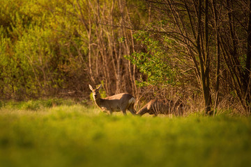 Foto op Canvas Ree European roe deer - Capreolus capreolus near spring forest