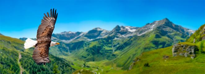 Photo sur Aluminium Alpes Adler fliegt in großer Höhe mit ausgebreiteten Flügeln an einem sonnigen Tag in den Bergen.