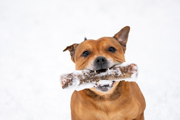 Papiers peints Chien Brown Staffordshire bull terrier are running and fetching stick in snow during wintertime. Playful, happy and animal photography concept.