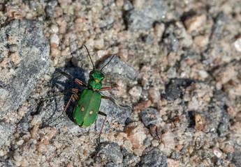 Green Tiger Beetle - Cicindela campestris - on dirt road