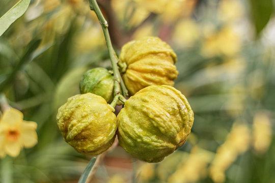 Hiding citron fruits on a tree in a flowering garden . Selective focus